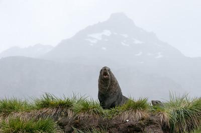 Elephant seal in Moltke Harbor