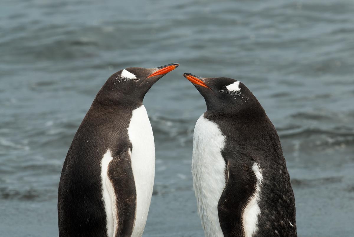 Gentoo Penguins in Moltke Harbor, South Georgia Island