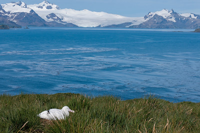 Prion Island, South Georgia Island