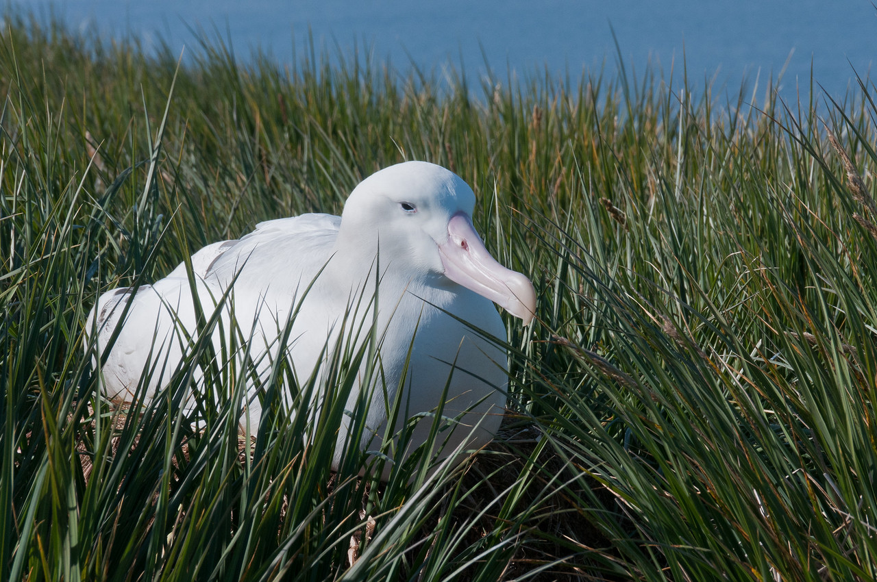 Albatross in Prion Island, South Georgia Island