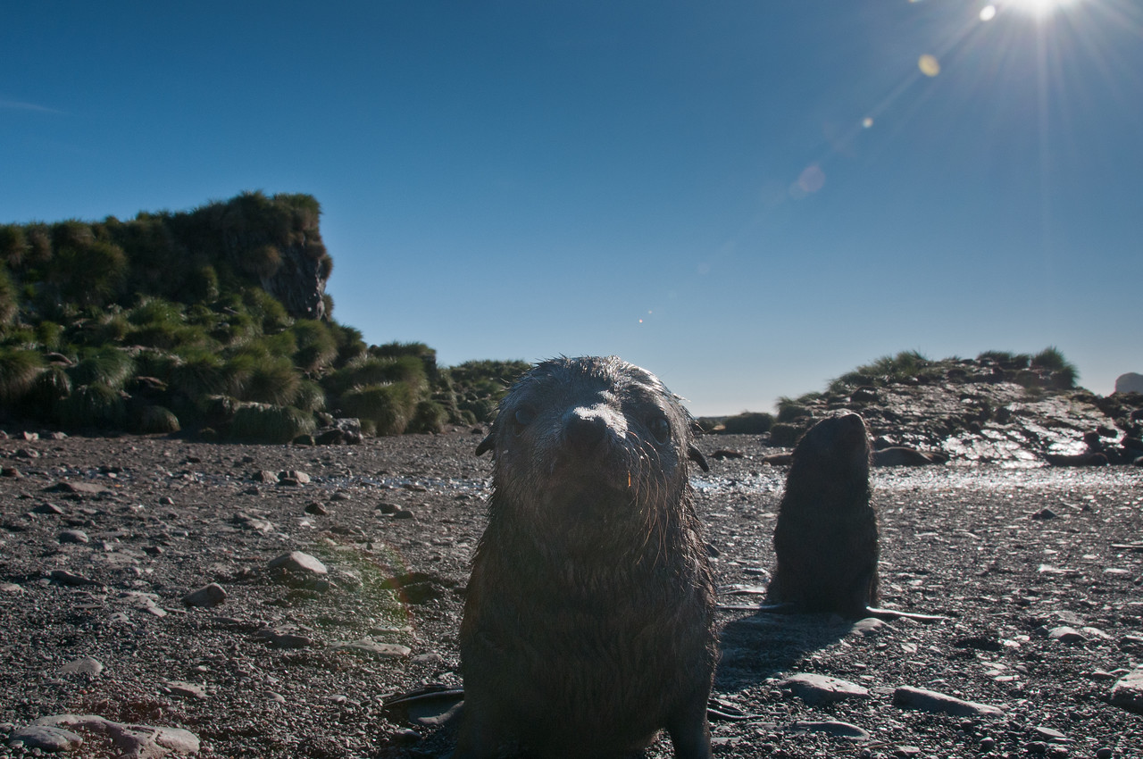 A baby fur seal on Prion Island. South Georgia and Sandwich Islands.