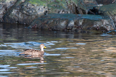 Duck in water at Prion Island, South Georgia Island