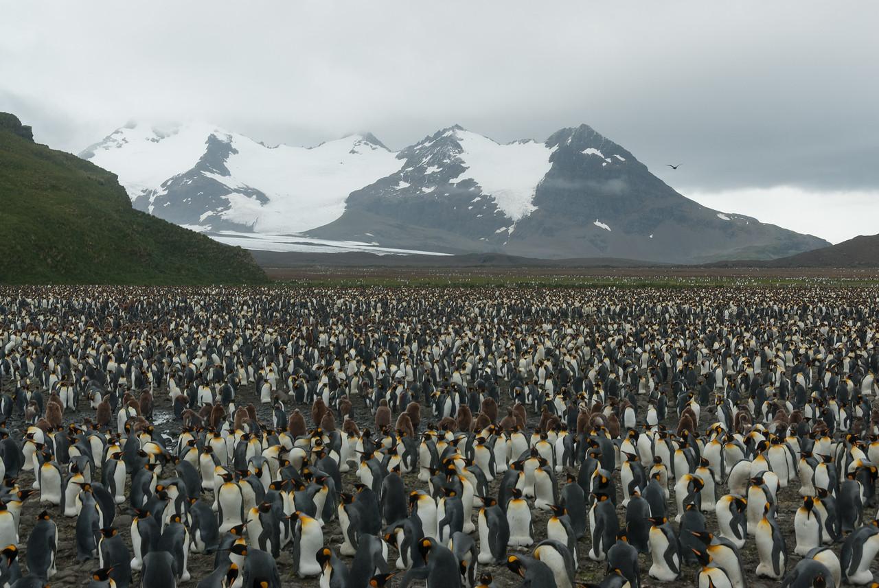 King Penguins at Salisbury Plain, South Georgia Island