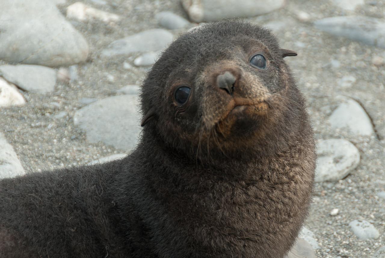 Fur seal at Salisbury Plain, South Georgia Island