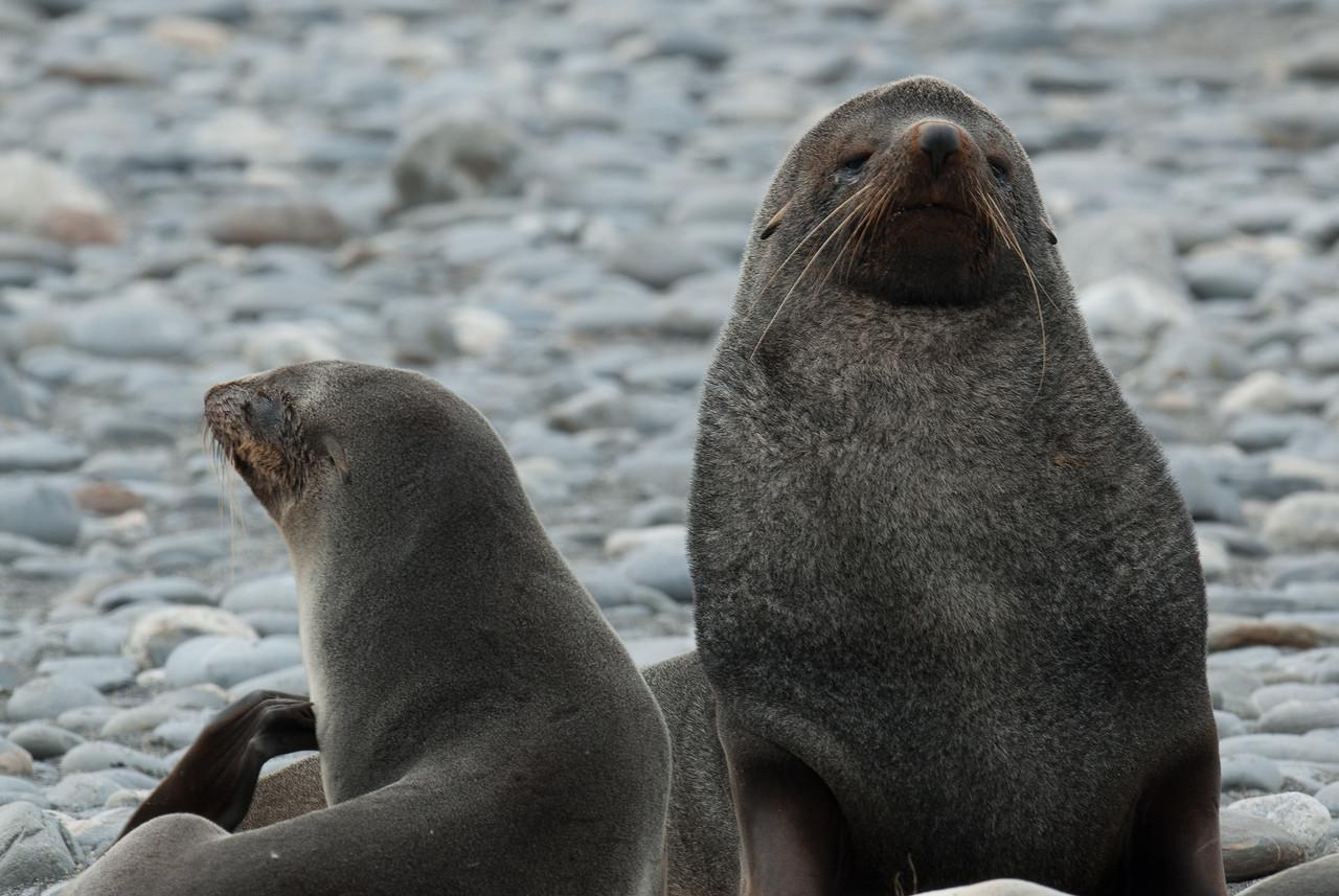 Fur seals at Salisbury Plain, South Georgia Island