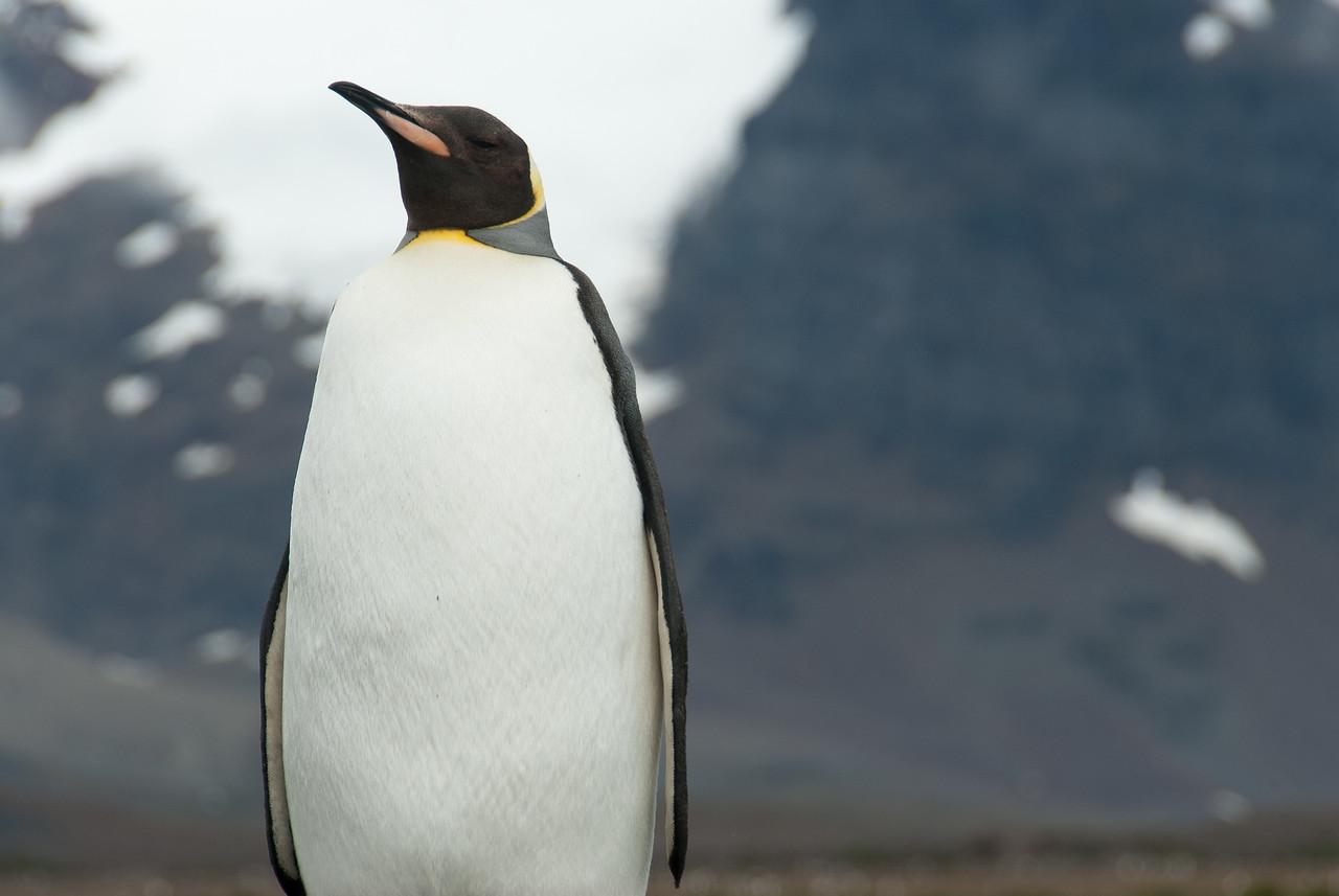 King Penguin at Salisbury Plain, South Georgia Island