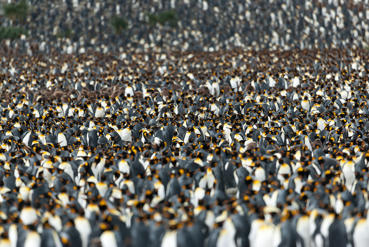 King Penguins at Salisbury Plain, South Georgia Island