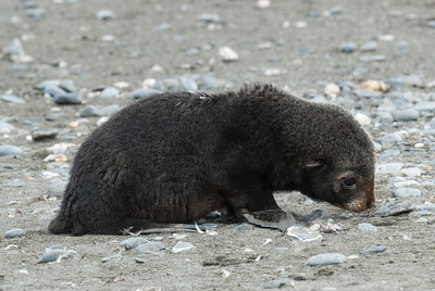 Bay fur seal at Salisbury Plain, South Georgia Island