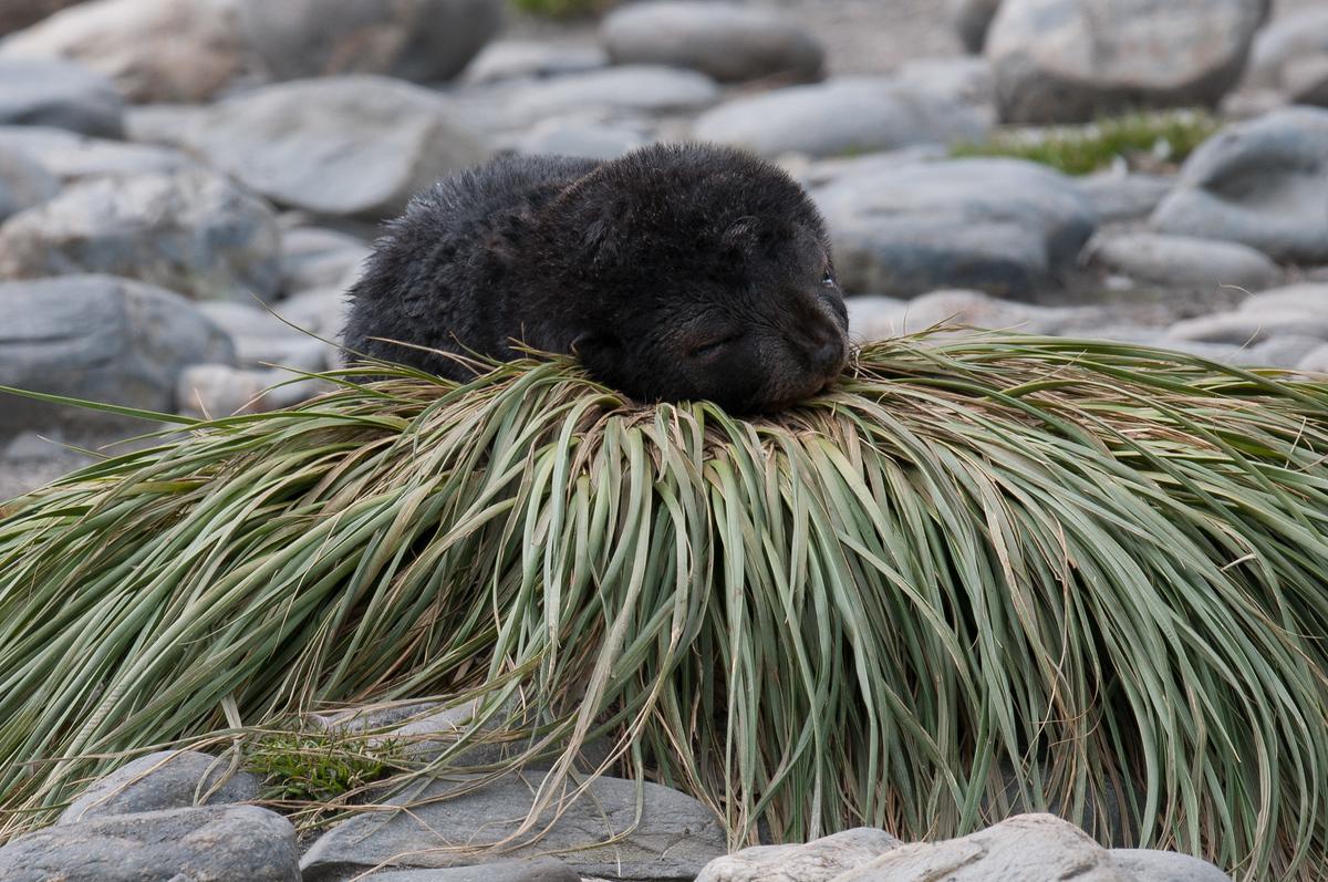 Sleeping fur seal pup on South Georgia Island