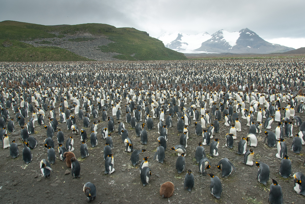 King Penguin Colony on the Salisbury Plain, South Georgia Island
