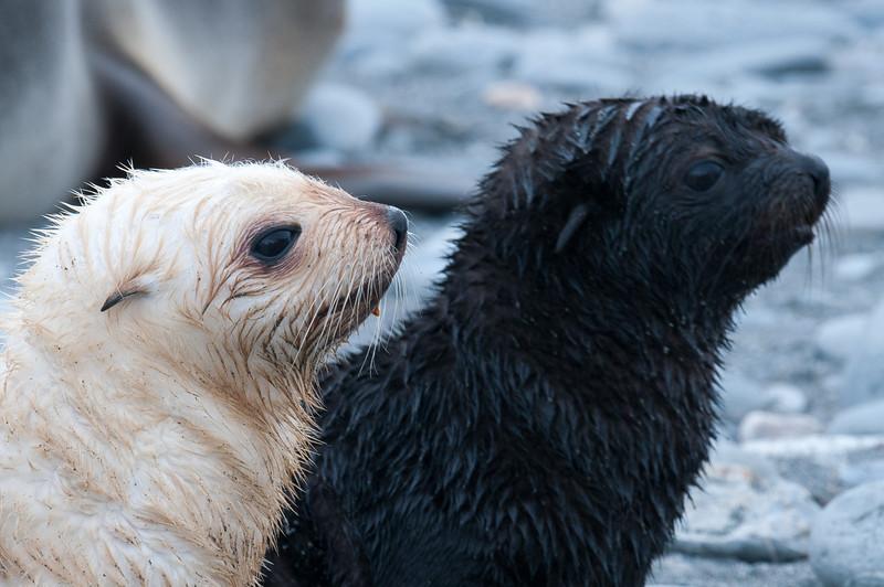 Baby fur seals at Salisbury Plain, South Georgia Island