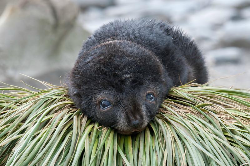 Baby fur seal at Salisbury Plain, South Georgia Island