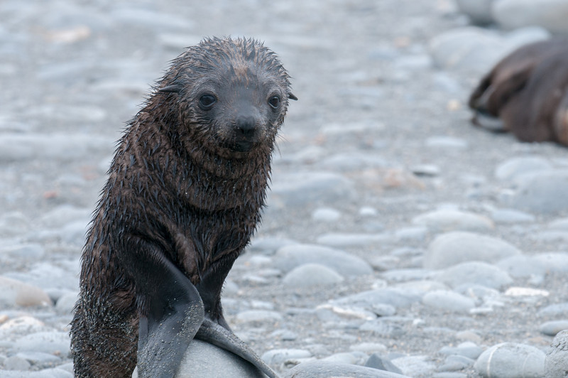 Baby fur seal at Salisbury Plain, South Georgia Island