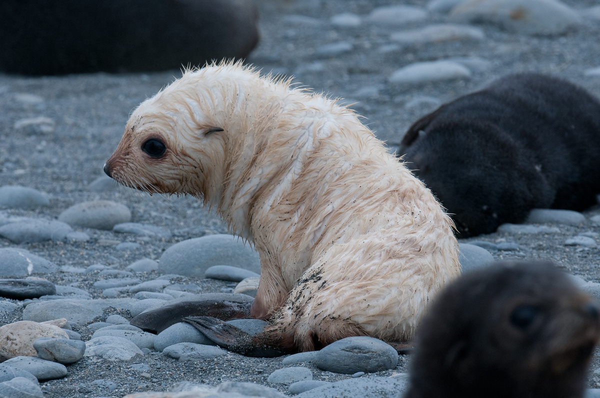 A Leucistic Fur Seal Pup on South Georgia Island