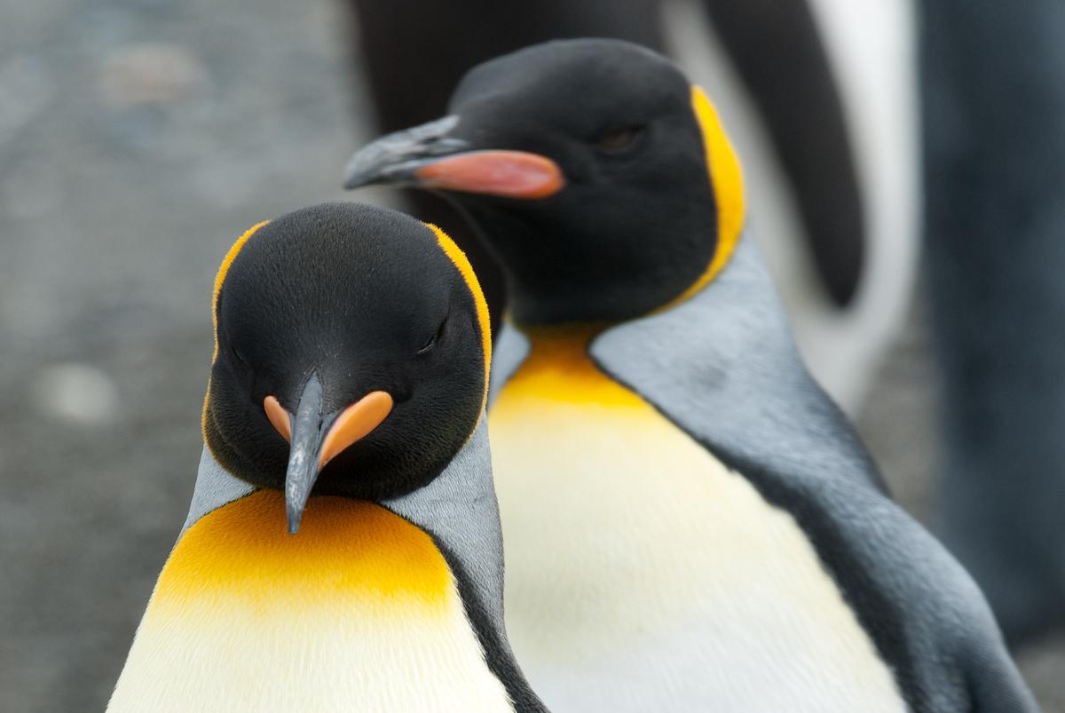 Two Penguins in Salisbury Plain, South Georgia Island