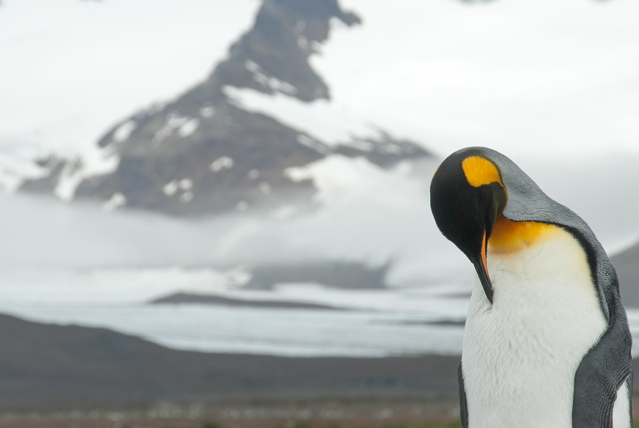King Penguin at Salisbury Plain, South Georgia Island