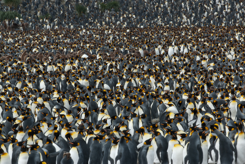A king penguin colony on South Georgia Island