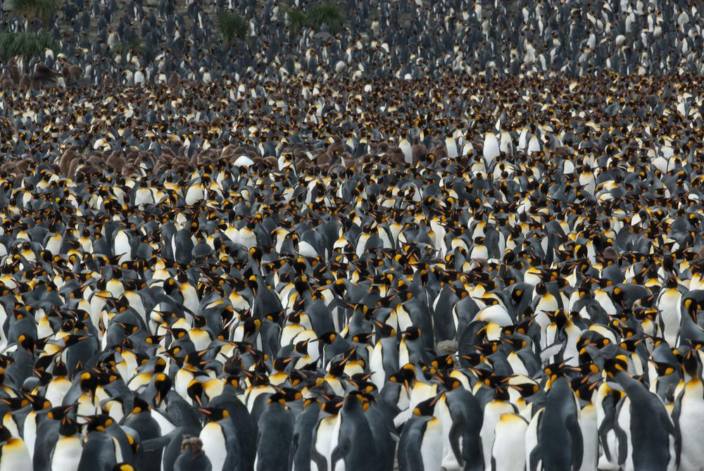 A king penguin colony on South Georgia Island