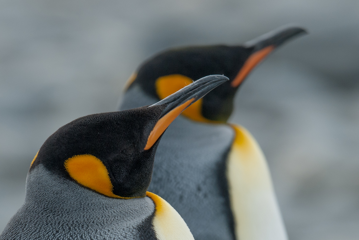King Penguins on the Salisbury Plain, South Georgia Island