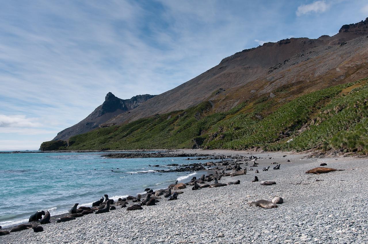 Seals at Stromness Bay, South Georgia Island