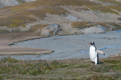 King penguin in the Stromness Bay