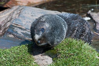 Fur seal at Stromness Bay, South Georgia Island
