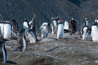 King penguins in the Stromness Bay
