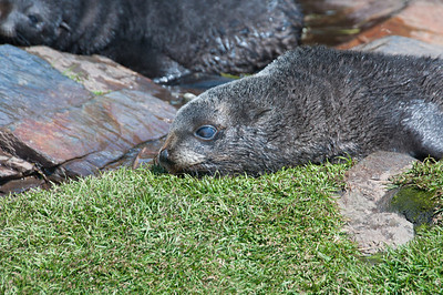 Fur seal at Stromness Bay