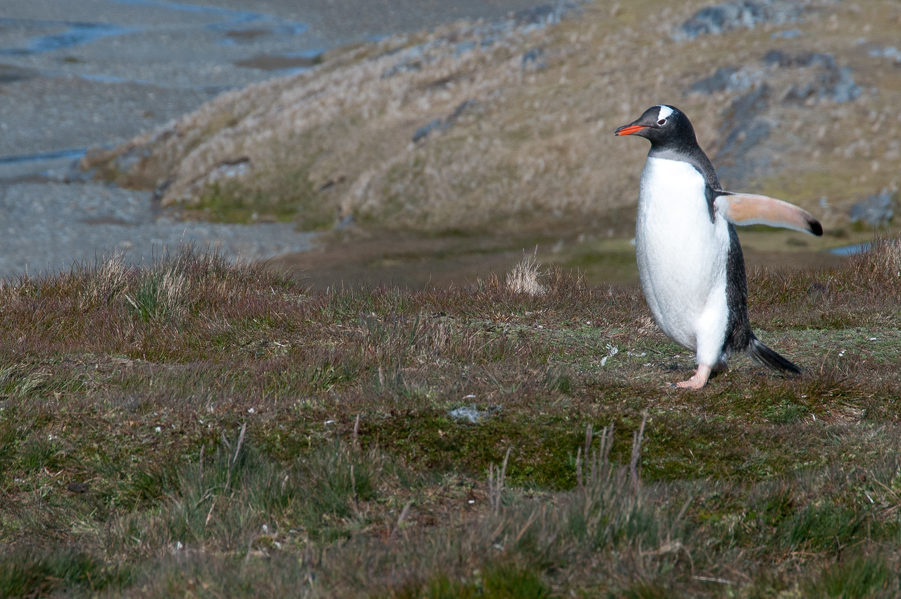 King penguin in the Stromness Bay