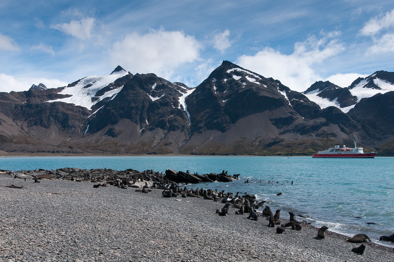 Seals at Stromness Bay, South Georgia Island