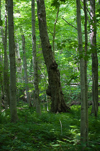 This area of the forest has some 350-year-old sugar maples