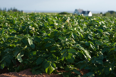 Potato fields. It's only mid-July and the potatoes are in blossom.