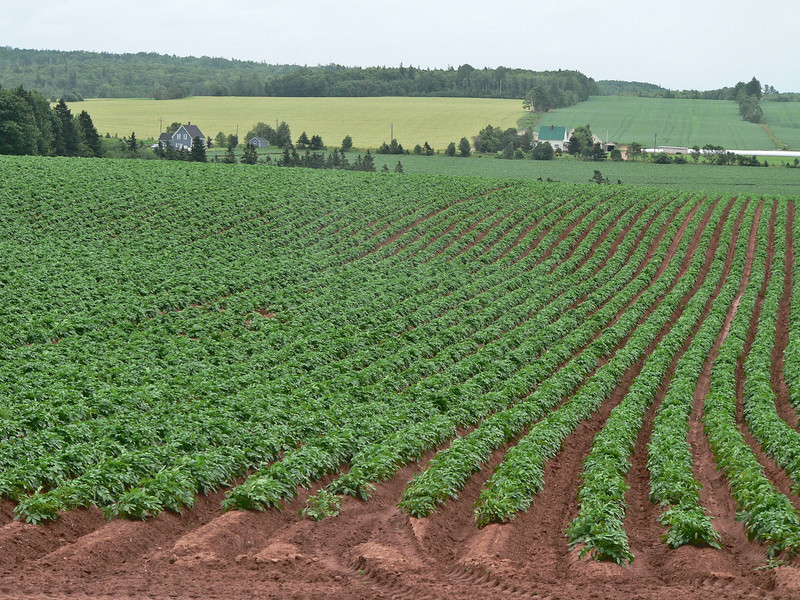 Potato fields.