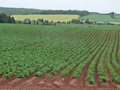 Potato fields.
