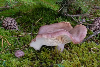 Lactarius flexuosus var. roseozonatus - rýdzik hnedastoružový