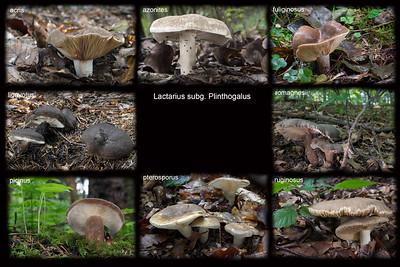Lactarius podrod Plinthogalus