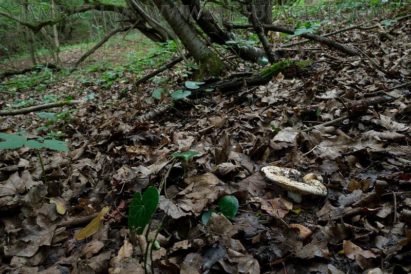 Lactarius acerrimus - rýdzik krátkohlúbikový