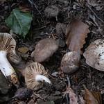 Lactarius acris - rýdzik ostrý