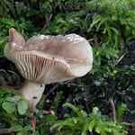 Lactarius albocarneus - rýdzik mazľavý