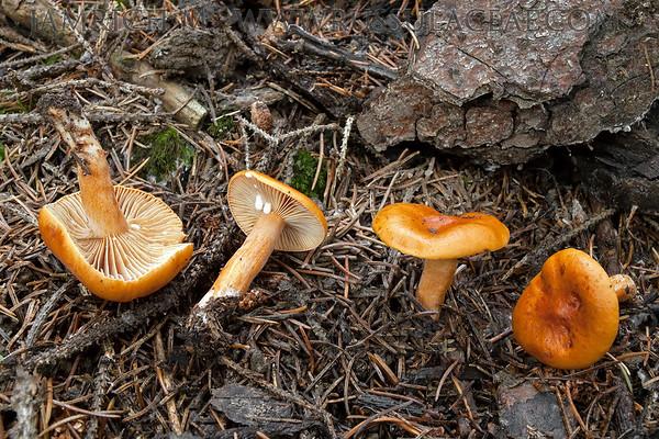 Lactarius aurantiacus - rýdzik pomarančový
