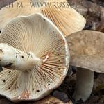 Lactarius azonites - rýdzik dymovosivý