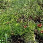 Lactarius badiosanguineus - rýdzik hnedočervený