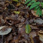 Lactarius blennius - rýdzik sivozelený