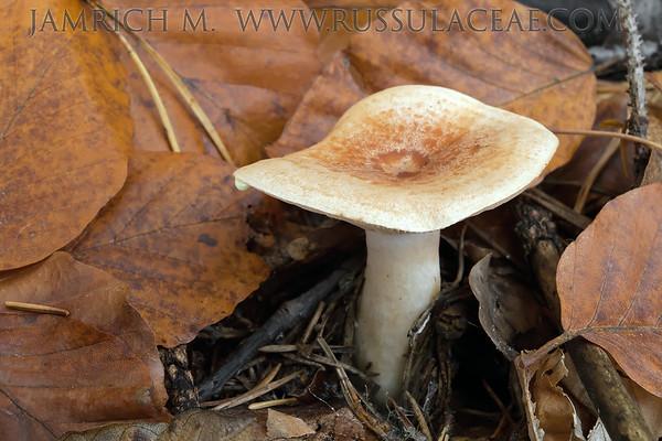 Lactarius chrysorrheus - rýdzik žltomliečny