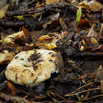 Lactarius citriolens - rýdzik slamovožltý