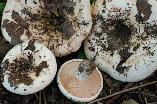 Lactarius controversus - rýdzik osikový
