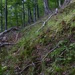 Lactarius cremor - rýdzik hrboľkatý
