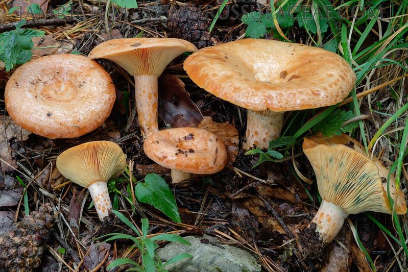Lactarius deliciosus - rýdzik pravý