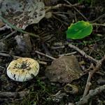 Lactarius evosmus - rýdzik jablčný