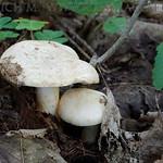 Lactarius flavidus - rýdzik žltkastý
